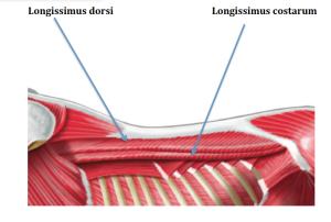 longissimus back muscle